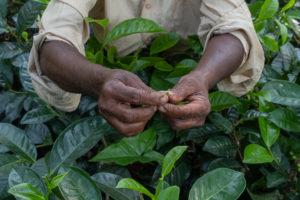 Billede af hænder der holder friske teblade over teplante.