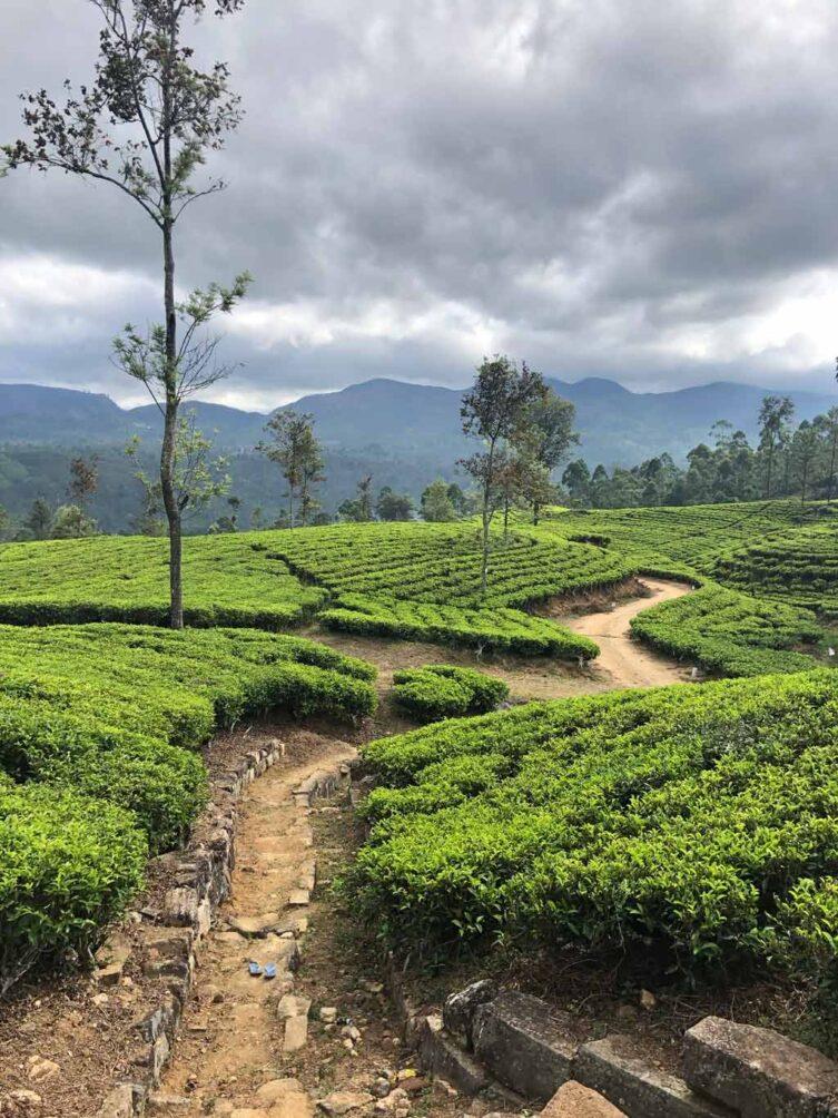 Emeyu Sri Lanka tea plantations, tea farmers, tea leaves, organic black tea, organic white tea, organic green tea, organic whole leaf tea, tea bush, tea leaf, tea leaves, Sri Lanka, tea tasting, smelling tea,