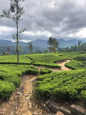 Emeyu økologisk kvalitets te på besøg hos te plantager og te farme på Sri Lanka. Smag, te dufte, kvalitets te, hele blade, te buske, te plukkere, teblade, sort te, grøn te, hvid te kvalitets te økologisk te