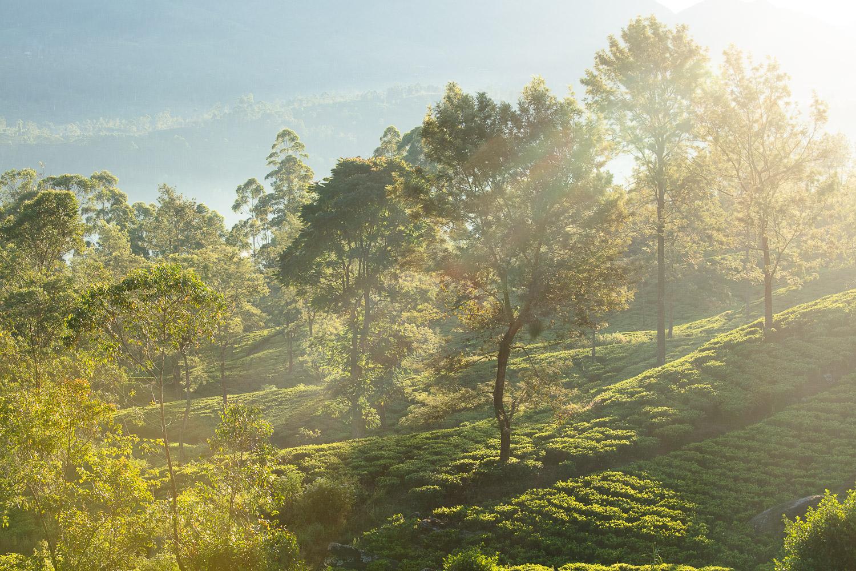 Emeyu økologisk kvalitets te besøger te plantager for at finde de bedste økologiske kvalitets teer fra te busken Camellia